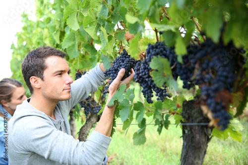 Leinwand Poster Man in vineyard picking grapes