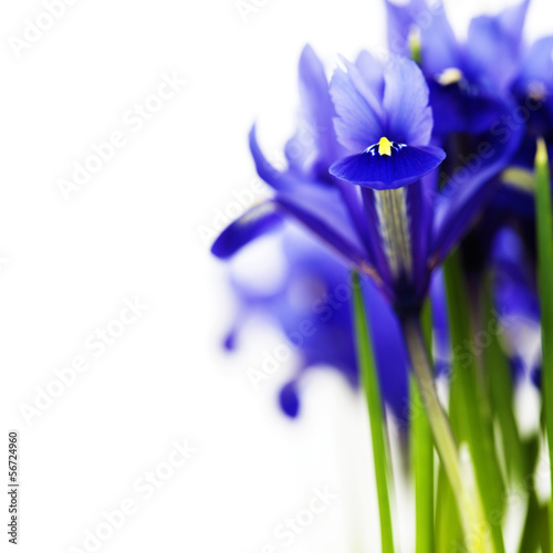 dark purple iris flower