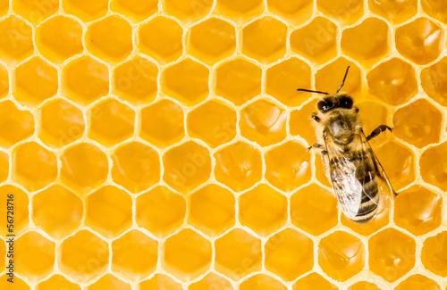 Papiers peints Macro photographie Macro of working bee on honeycells.