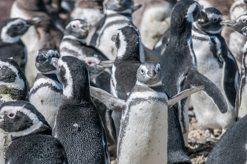 Papiers peints Antarctique magellanic penguins