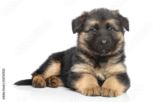 Fotografia, Obraz German shepherd puppy on white background