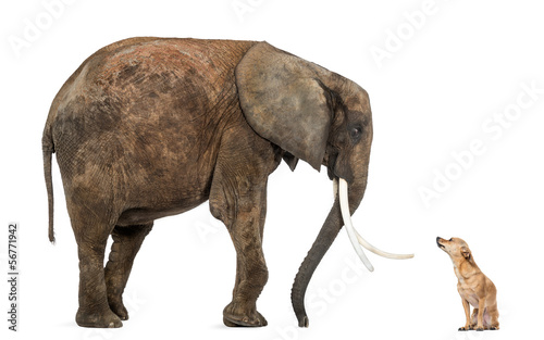 Naklejki słoń  african-elephant-and-chihuahua-looking-at-each-other-isolated