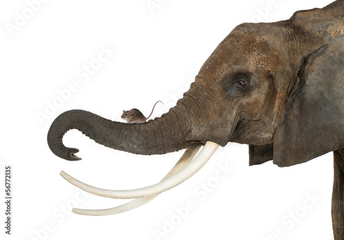 Fototapeta Close-up of a mouse standing on an elephant's trunk, isolated