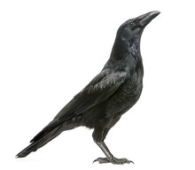 Side View Of A Carrion Crow Lo...