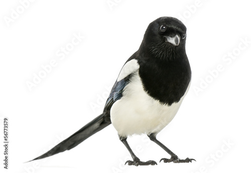 Common Magpie looking at the camera, Pica pica, isolated Wallpaper Mural