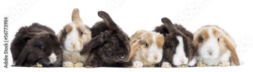 Obraz na płótnie Satin Mini Lop rabbits in a row, isolated on white