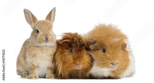 Stampa su Tela Dwarf rabbit and Guinea Pigs, isolated on white