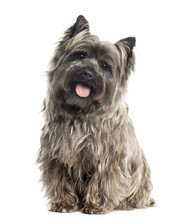 Front View Of A Cairn Terrier ...