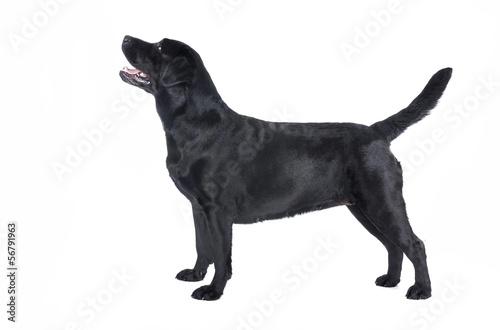 Tuinposter Panter Labrador retriever