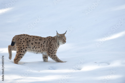 Foto auf Leinwand Luchs lynx in the snow