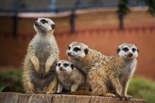 A Portrait Of A Group Of Meerkats