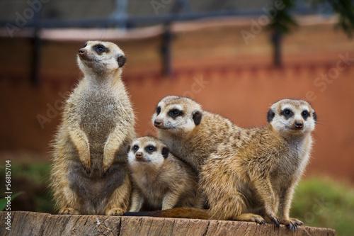 Fotografie, Obraz  A Portrait of a Group of Meerkats