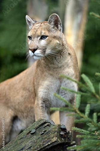 Deurstickers Puma Puma