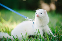 A White Domestic Ferret Taking...