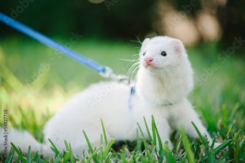 Fotografering  A white domestic ferret taking a walk on a leash in the green gr