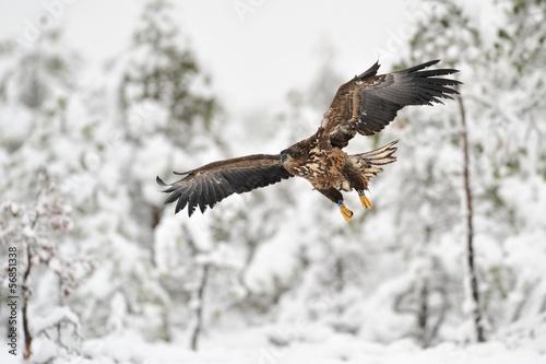 White-tailed Eagle flying