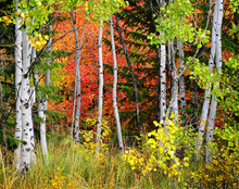 Forest Of Pine, Aspen And Pine Trees In Fall