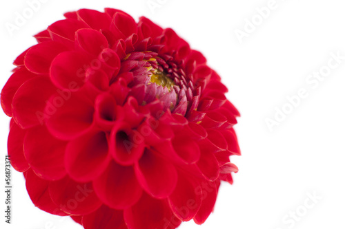 Poster Dahlia Red Dahlia flower, white background.