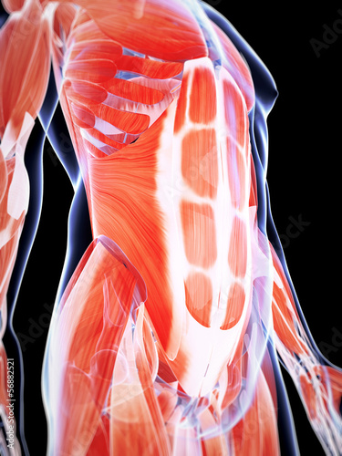 Fotomural 3d rendered illustration of the male musculature