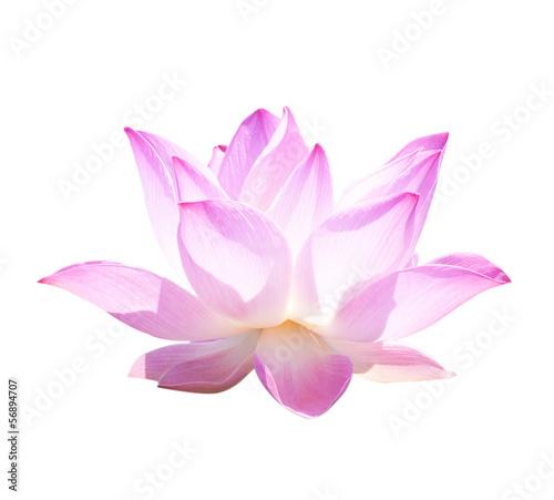 Garden Poster Lotus flower Lotus Frower