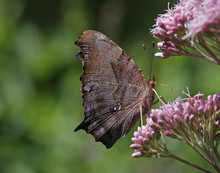 A Question Mark Butterfly (Polygonia Interrogationis) Feeding On A Flower.  Shot In Kitchener, Ontario, Canada..
