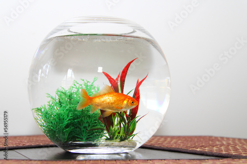 Fotografie, Obraz  Goldfish in bowl aquarium