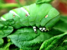 Closeup Of Tomato Hornworm