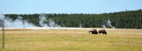 Canvas Prints Bison Bisons on the Yellowstone national park