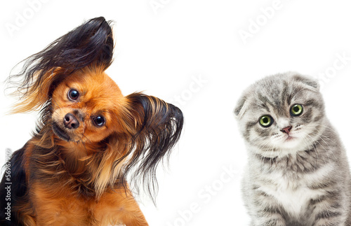 Toy terrier dog and a cat on a white background. Canvas Print
