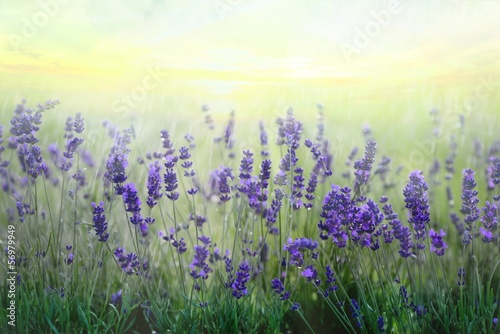 Spoed Foto op Canvas Lavendel lavendelfeld
