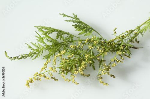 Photo einjaehriger beifuss, Artemisia, annua,