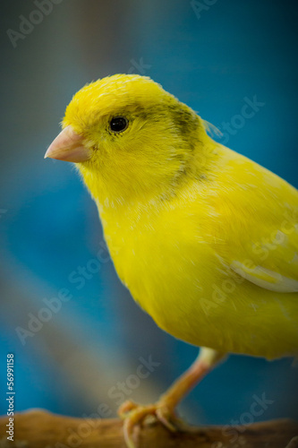 Fotografia  Gelber Kanarienvogel