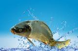 Fototapeta Zwierzęta - Karp królewski w wodzie