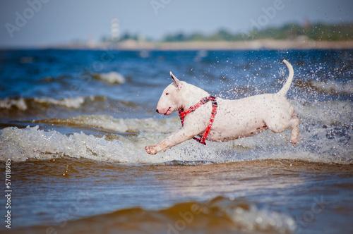 Fotografia bull terrier dog jumps into water
