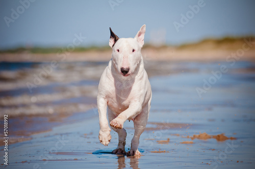 Papel de parede english bull terrier running on the beach