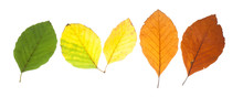Set Of Beech Leaves In Different Fall Colors