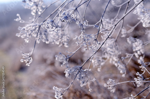 Fotografie, Obraz  Winter floral background with frozen umbrella flowers