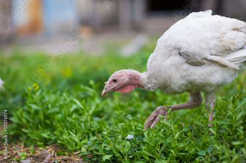 Photographie  young turkey on a farm