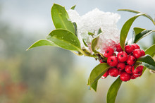 Snowcovered Holly Twig With Be...