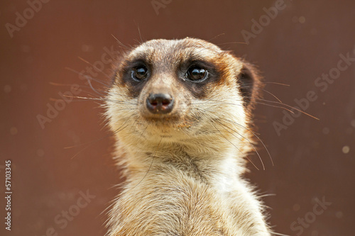 Fotografie, Obraz  Meerkat in zoo. Close-up.