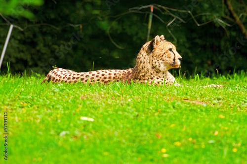 Obrazy na płótnie Canvas One lazy cheetahs resting in the grass in the zoo.