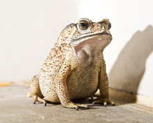 Close-up Of Toad On Rock