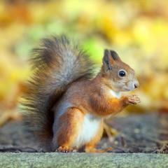 Naklejka na ściany i meble The squirrel sits on a stone in park