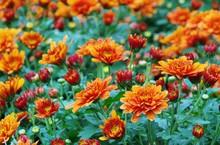 Chrysantheme - Chrysanthemum 07