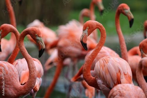 Flamingos #57130791