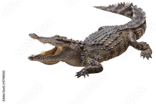 Photo sur Toile Crocodile crocodile