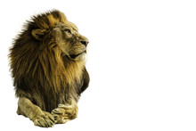 Lion On A White Background.