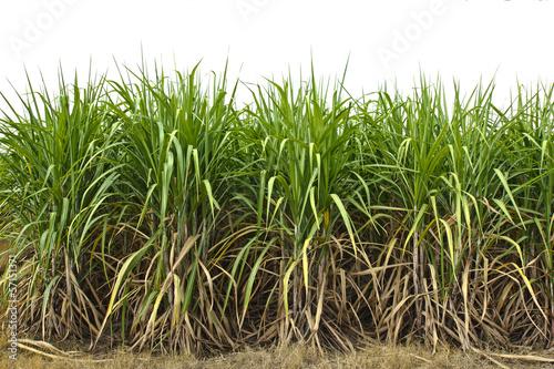Fotografie, Obraz  sugar cane