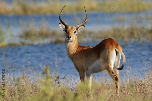 Poster Antilope Red lechwe antelope, Chobe National Park