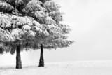 zimowy krajobraz z sosnami - 57183770